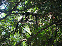 Some more free-roaming lemurs at the Tamatave zoo.
