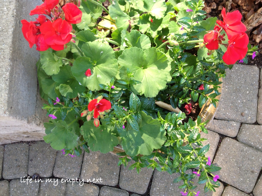 Life in my empty nest friday on the patio - Care geraniums flourishing balcony porch ...