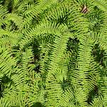Ferns (98651)