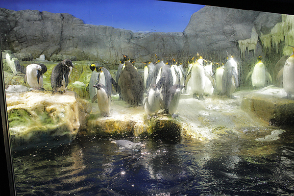 penguin tank, osaka aquarium, penguins face off, penguins sunbathing, top attractions in osaka japan