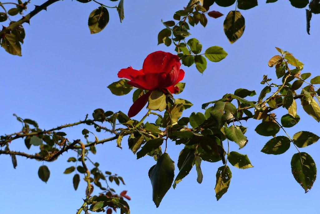rose yoyogi