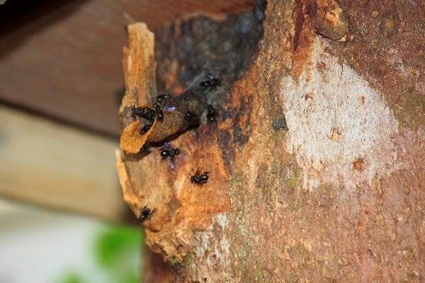 lebah jinak