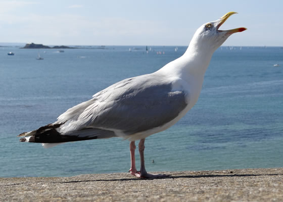 1580.jpg - Les oiseaux � Saint-Malo par Bretagne-web.fr