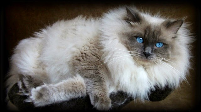 Life with Ragdolls: Ragdoll Cat Colors/Patterns Explained