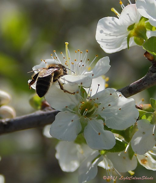 Bee on apple tree flower