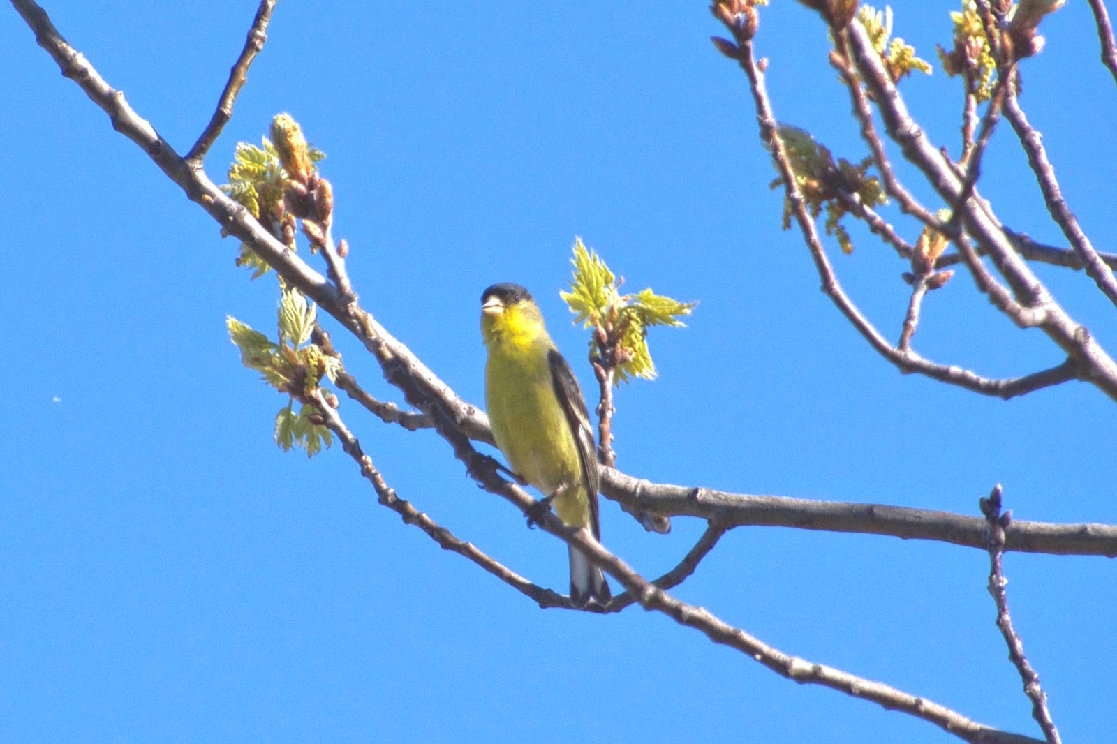 Wild Canary 1.jpeg