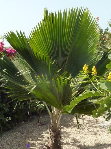 Cocotiers et palmiers a identifier - Palmier cocotier ...