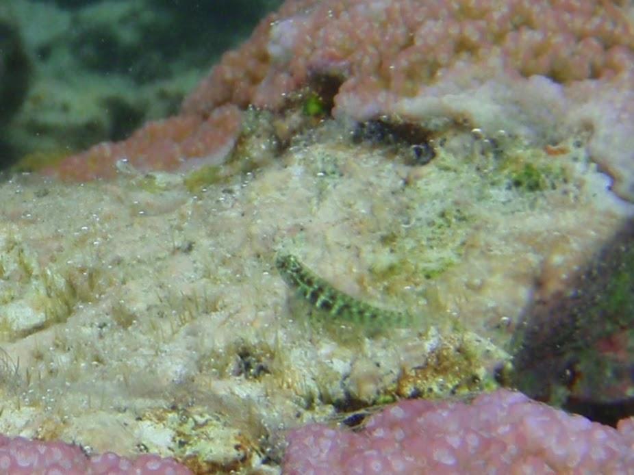 Eviota zonura. (Zoned Pygmy-Goby), Aitutaki.