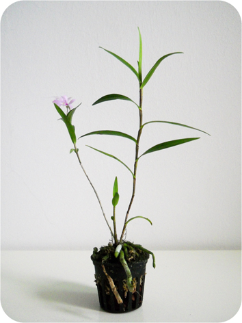 Растения из Тюмени. Краткий обзор - Страница 4 Oerstedella-centradenia-1