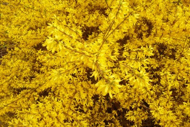Forsycja pośrednia Forsythia intermedia
