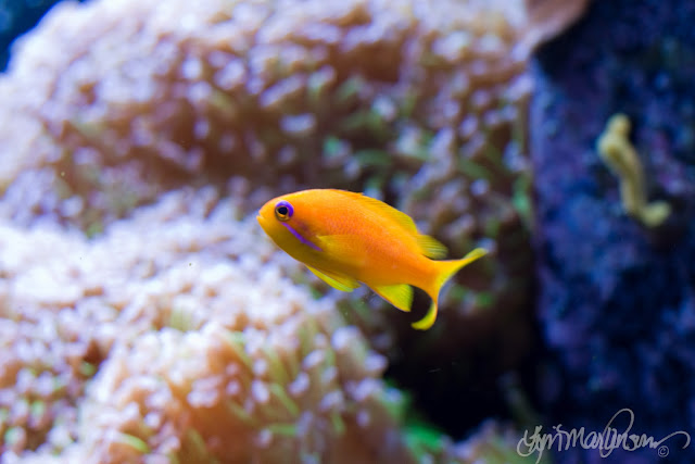 Lyretail Anthias Goldy Marine Fish