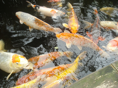 Grandi Pesci rossi al Kasteeltuinen di Arcen