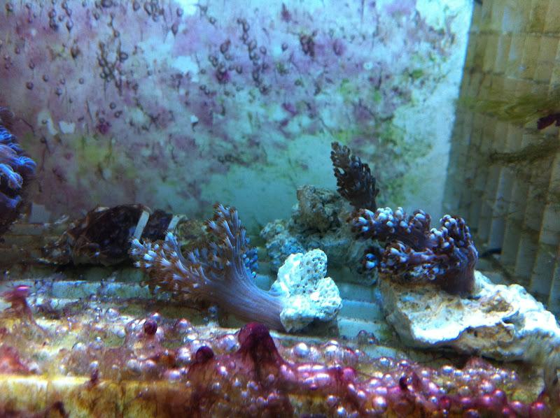 Capnella imbricata (Kenya Tree Coral) 2011_%2525206_16_10_12
