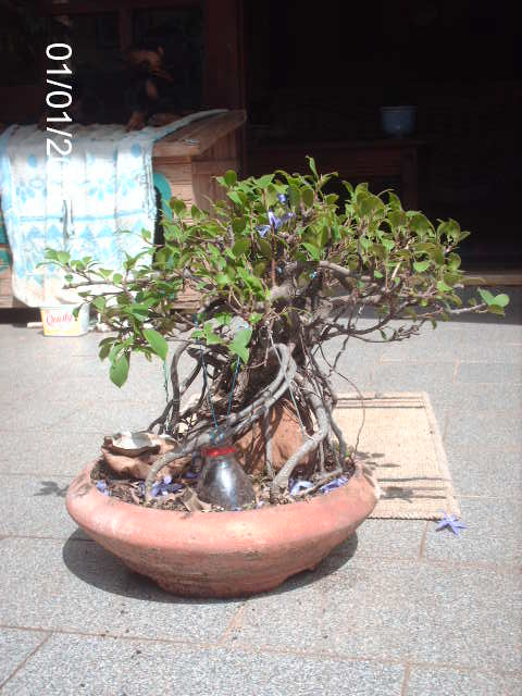 Ficus Microcarpa do Roberto Teixeira... PICT1648