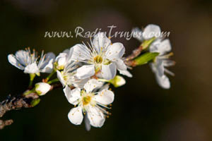 Hoa mận nở trắng lối về