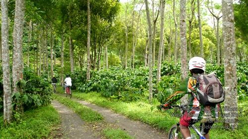 Kebun kopi di pinggir jalan menuju Sirah Kencong.