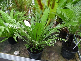 Zanokcica gniazdowa Asplenium nidus 'Fimbriatum'