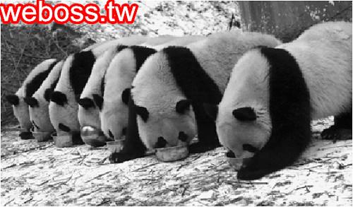 貓熊打群架影片
