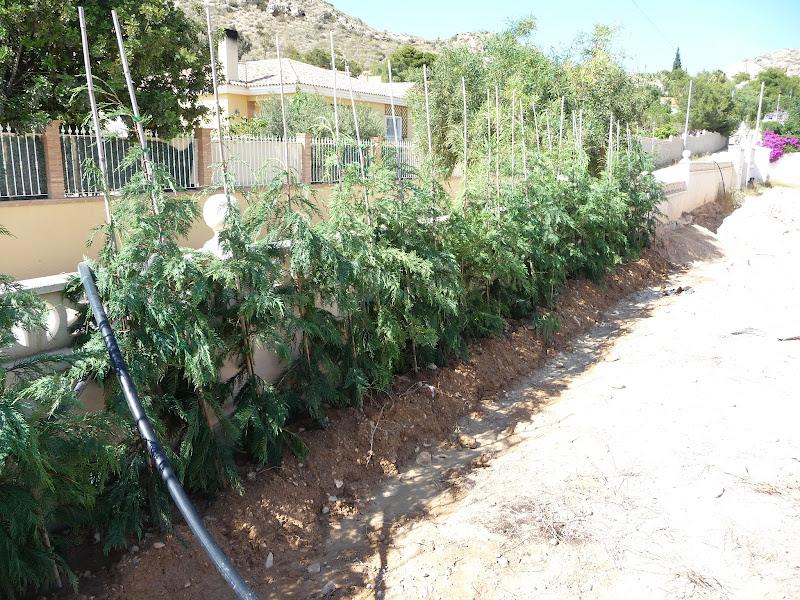 ejecución jardín diseño proyecto jardinería paisajismo san vicente alicante Cupressus leylandii