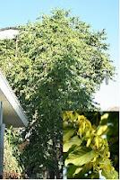 Cây Hoàng lan - hương thơm quyến rũ