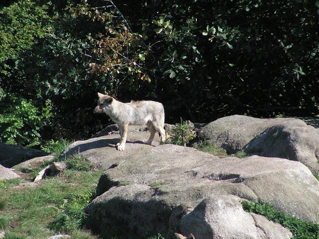 Les Loups de Chabrière PICT0541