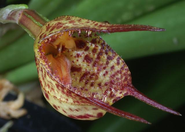 Растения из Тюмени. Краткий обзор - Страница 3 Dracula-mopsus