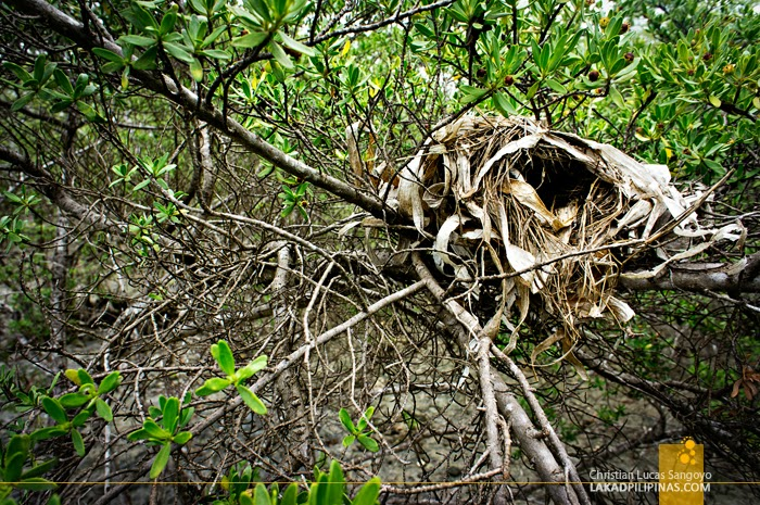 A Bird's Nest at Olango Island Wildlife Sanctuary in Cebu