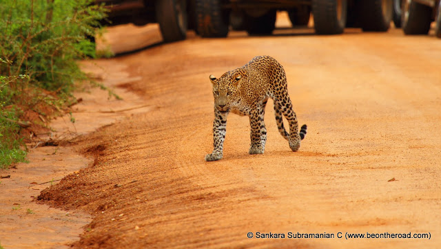 The Sri Lankan Leopard walks on the jeep track and towards us