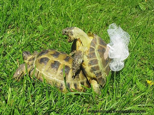 Среднеазиатские черепахи, самец 8 и самка 12 лет, играют