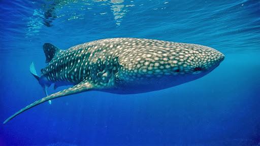 Whale Shark, Papua New Guinea.jpg