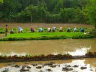Planting paddy