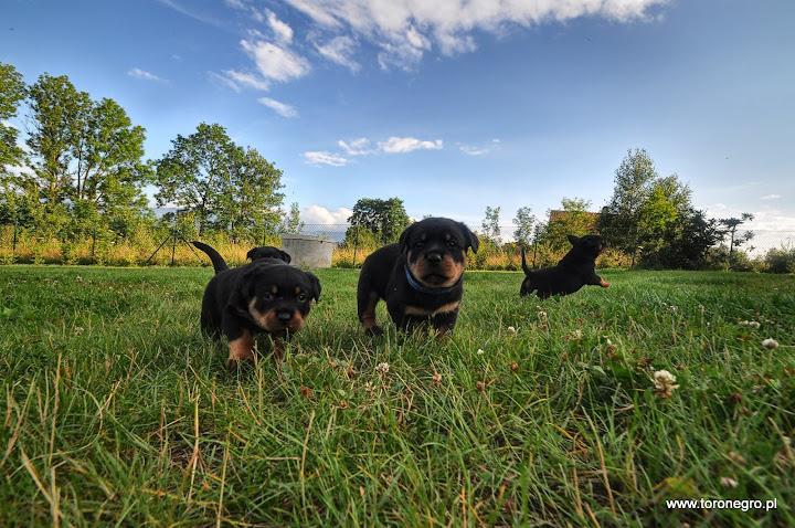 Małe rottweilery skaczą
