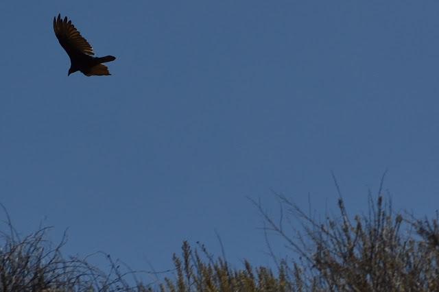 turkey vulture over the hill