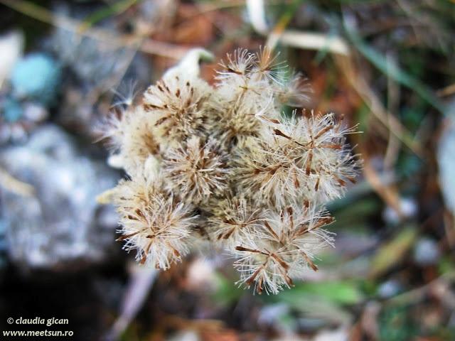 florile de colt