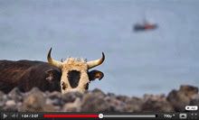 This cow (bull) will sink my boat called PUMA if you don't give me cheese!