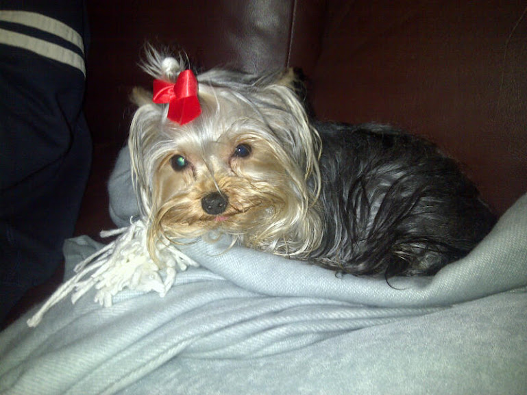 Puppy from Stawberry's last litter with Tim at 1.2 Years of age. Yorkshire Terriers colour only settles after 2 years.