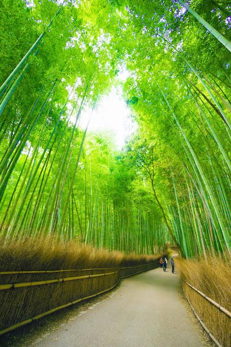 京都 竹林の道 写真2