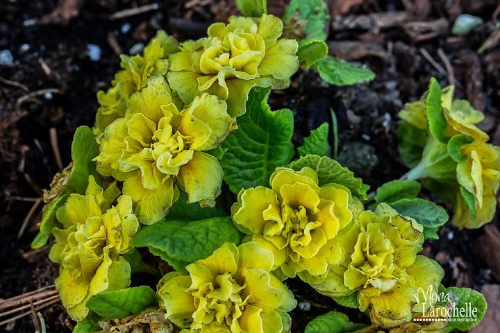 Primula Belarina Buttercups Primula-belarina-buttercups-140514-105rm