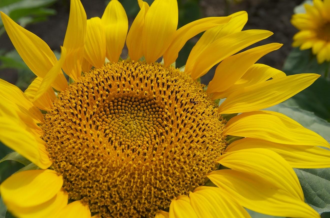 満開のひまわりの花びら