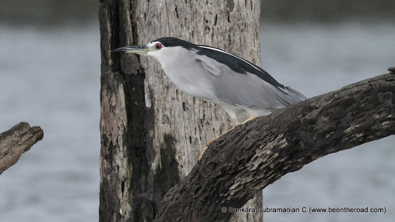 Black Crowned Night Heron at Kabini National Park - 1