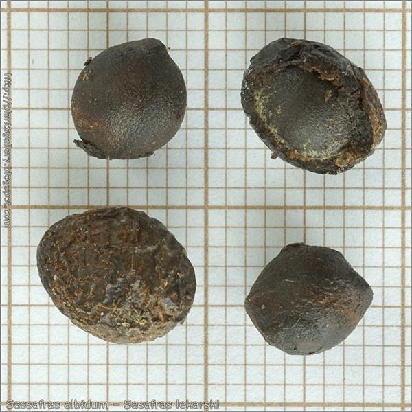 Sassafras albidum seeds – Sasafras lekarski nasiona