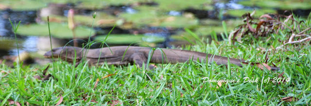 Another shot of the same small Monitor Lizard