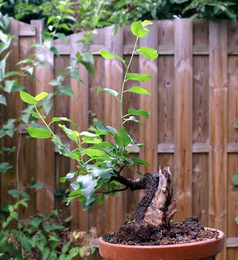 Prunus Mahaleb PICT0241