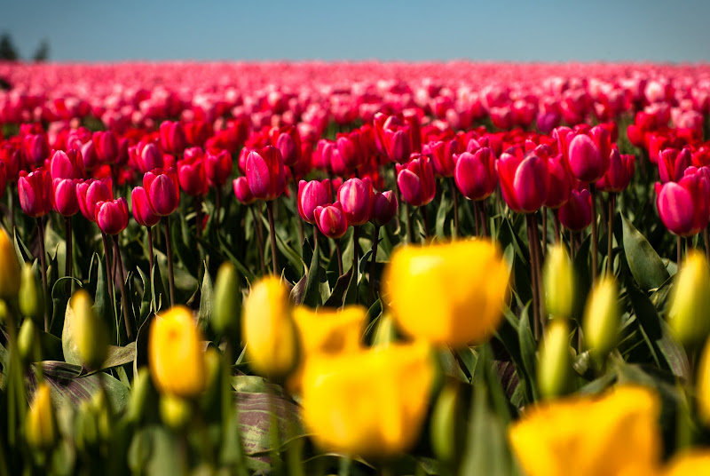 cali w kwiatach -- Skagit Valley 2012