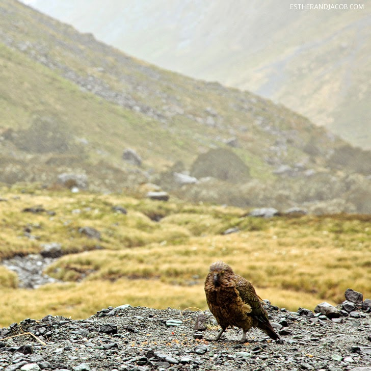 Wild Kea Parrot at Fiordland National Park New Zealand | Day 5 Sweet as South Contiki Tour.