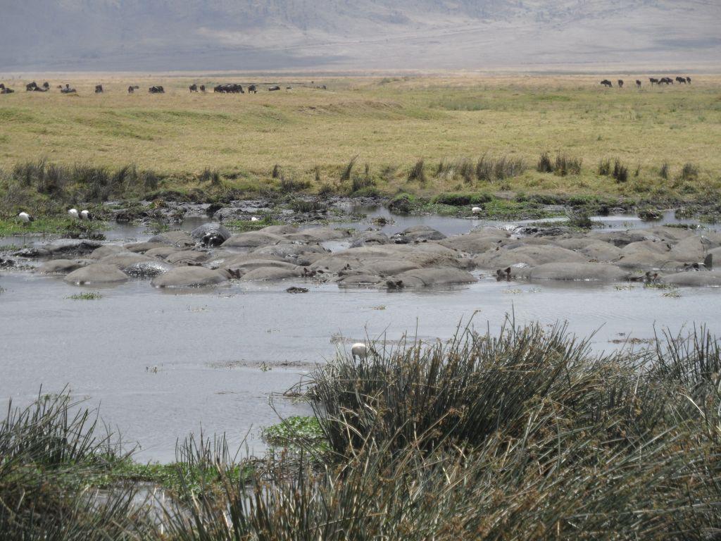 Ngorongoro'da Hipopotam adacığı