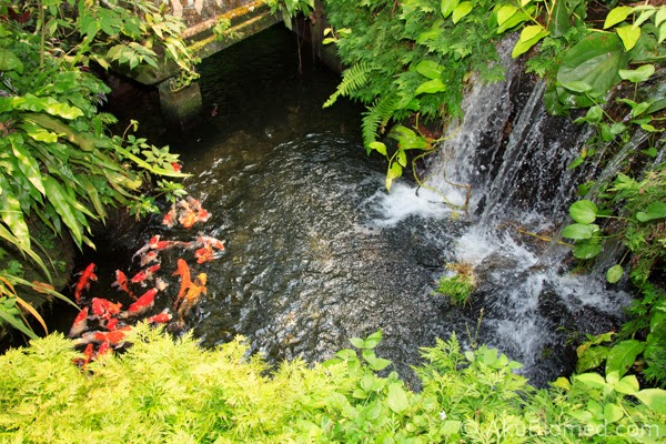 kolam air dihuni oleh ikan koi