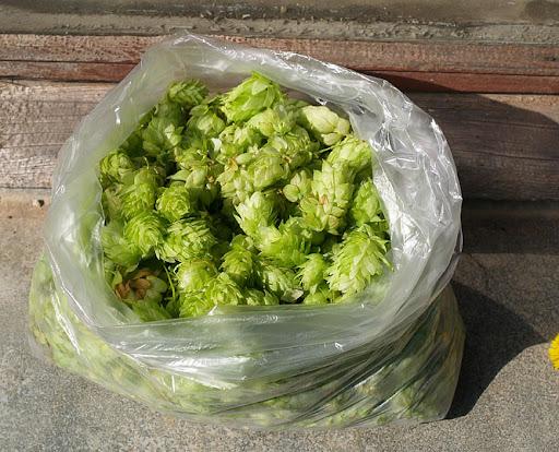 Šviežių apynių maišelis: apie 215 gramų