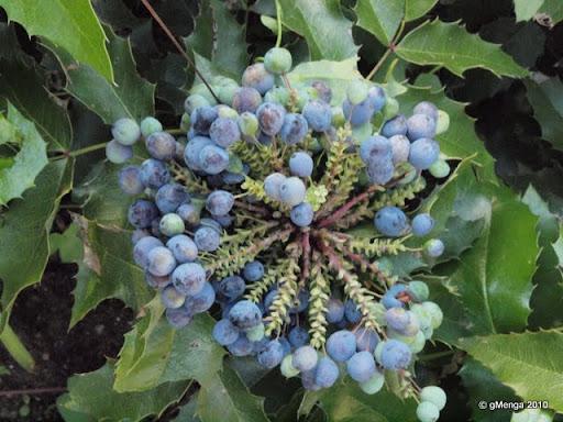 fruit (baie) du Mahonia aquifolium