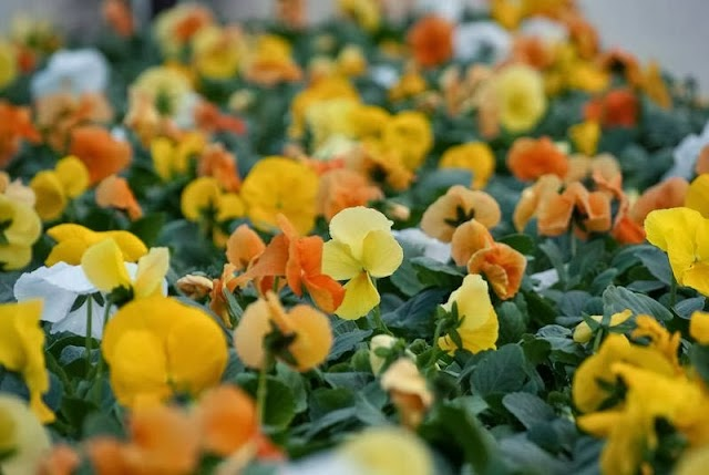 Virágzó Dunakanyar Kertészet
